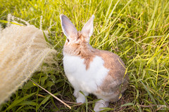 IMG_1665.jpg (ina070) Tags: animals canon6d cute grass outdoor outside pets rabbit rabbits