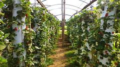 Morangos (Natal Forcelli) Tags: morango morangueiro strawberry indaiatuba campinas sp brasil brazil natalforcelli