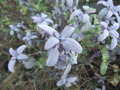 Saturday, 19th, Frosty leaves IMG_9835 (tomylees) Tags: essex morning autumn november 2016 saturday 19th garden purple sage leaves frost