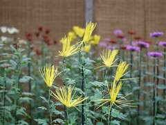 Saga-giku (s.itto) Tags: shinjukugyoen autumn chrysanthemum november morifolium
