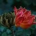 African tulip tree, Gamboa