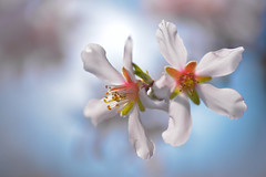 MME_0993-2 (mucahidefendi) Tags: spring flower nature macro nikon greece