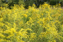 Showy Goldenrod (grandpaspix) Tags: iowa prairie restoration sony a100 35561870mm showy goldenrod
