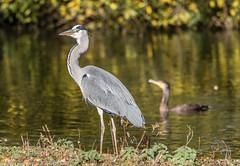 9Q6A9029 (2) (Alinbidford) Tags: alinbidford alancurtis brandonmarsh goldeneye cormorant greyheron heron shoveler greatcrestedgrebe kestrel shelduck wildfowl