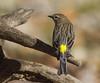 Yellow-rumped Warbler (AllHarts) Tags: yellowrumpedwarbler backyardbirds memphistn naturesspirit naturescarousel ngc