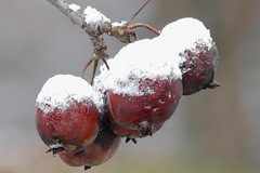 First Snow on Crab Apples (jaybirding) Tags: leicavlux114 maine me outdoor scenery stormer yarmouth us