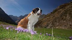 MAKA  la montagne (jacquescornet44) Tags: ard montagne dog mountain colchiques couleurs fleurs flowers hautespyrnes estaing saintbernard chien