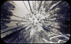 Star pattern (batuda) Tags: pinhole obscura stenope lochkamera analog analogue tin altoids mediumformat 6x9 paper kodak polymax d76 toned wide wideangle lowangle perspective linear radial star nature forest wood tree trees pine pinussylvestris sky dumsiai jonava kaunas lithuania lietuva