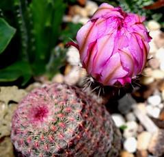 Cactus flower closed for the day (Nelson~Blue) Tags: echinocereus pectinatus rubispinus
