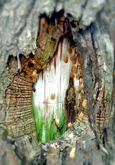 #Moss #mossy #mushrooms #mushroom #fungus #birchbark #woodland #forest #woods #growing #wilderness #nature #life #Mike #Liebler #hiking #trail (mikeliebler222) Tags: colorful vibrant insidetree open split knot knots knotted tree trees moss mossy mushrooms mushroom fungus birchbark woodland forest woods growing wilderness nature life mike liebler hiking trail