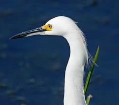 Snowy Egret (1krispy1) Tags: egrets snowyegret texasbirds