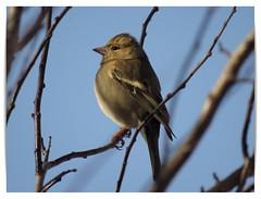 Vink/Finch 02 (_BieFeen) Tags: vink finch bird vogel nature canon zoom