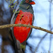 Stay-tailed Trogon, Trogon massena