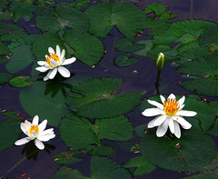 The Pond (Mahmoud R Maheri) Tags: flowers pond lily riodejaneiro rio brazil plants water lake vegetation green park