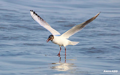 Balancing! (Amro Afifi) Tags: sea seagull wildlife wild beautiful beach amroafifi