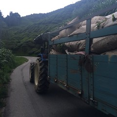 Day two, harvested tea on the way to the factory
