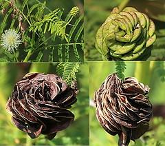 Illinois Bundleflower (John Pohl2011) Tags: plant flower canon john roadside wildflower 100400mm pohl t4i 100400mmlens canont4i