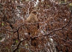 Gavilán (ahenaol) Tags: latinamerica southamerica argentina fauna ushuaia latinoamerica fuego silvestre tierra gavilán suramerica