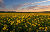 Durbanville Canola Table Mountain Sunset (Panorama Paul) Tags: sunset southafrica capetown tablemountain canola durbanville nikkorlenses nikfilters nikond800 wwwpaulbruinscoza paulbruinsphotography