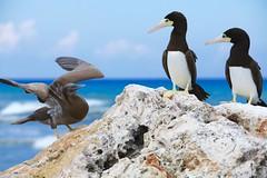 Booby birds (Simone Scott) Tags: birds cayman caymanbrac boobybirds