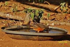 Sabi-laranjeira (Turdus rufiventris) (Egberto Arajo) Tags: brasil nordeste avifauna paraba caatinga turdus caririparaibano boavistapb rufiventris sabilaranjeira