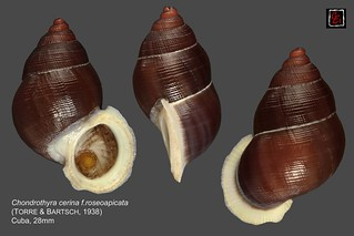 chondrothyra cerina f.roseoapicata2 cuba 28mm