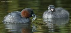 Little Grebes (Steven Mcgrath (Glesgastef)) Tags: city uk urban bird animal scotland pond europe adult little glasgow young scottish chick minnow rare grebe wtaer stickleback juv