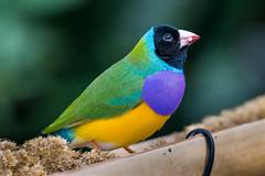 Gouldian Finch (tree-razzo) Tags: birds finch vancouverbc queenelizabethpark gouldian gouldianfinch blodelconservatory
