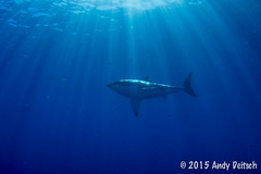 20151001-163401-199 (andy_deitsch) Tags: mexico sharks 2015 guadalupeisland