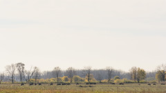 Where the Bison Roam (PhotoAbuse) Tags: illinois buffalo places bison largemammal