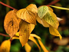 Autumnal leaves 017 (saxonfenken) Tags: 6892trees 6892 pregamesweep autumnal autumn fall autumnleaves golden gamewinner thumbsupsweep shallengewinner perpetual pregameduel thechallengefactory friendlychallengesunam diamond