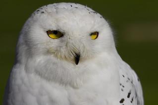 Snowy Owl (Explored)