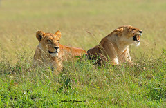 JHG_9087-b Part of a small pride, Masai Mara, Kenya. (GavinKenya) Tags: africa wild nature animal june john mammal photography gavin photographer kenya african wildlife july grand safari dk naturephotography kenyasafari africansafari 2015 safaris africanwildlife africasafari johngavin wildlifephotography kenyaafrica kenyawildlife dkgrandsafaris africa2015 safari2015 johnhgavin