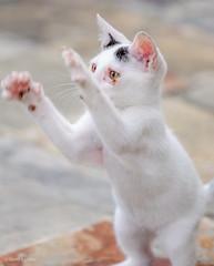 Kitten (d-harding) Tags: animals cat nikon kitten malaysia borneo kotakinabalu putatan d5100 nikond5100 sigma105mmf28macroexdgoshsm
