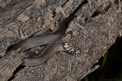 Pale-headed Snake (Hoplocephalus bitorquatus) (shaneblackfnq) Tags: tree head snake north pale queensland tropical juvenile far tropics almaden venomous fnq arboreal shaneblack elapid paleheaded bitorquatus hoplocephalus