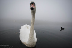 What YOU Lookin' At? (Emily Starbug Photography) Tags: mute swan coot wide angle norfolk broads looking canon7dmarkii sigma1020mm emilystarbug misty morning poor visibility