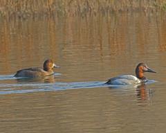 Canvasback and Redhead (Keith Carlson) Tags: ducks redhead waterfowl aythyaamericana canvasback aythyavalisineria