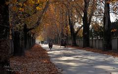 Autumn in Abbottabad (Shehzaad Maroof Khan) Tags: road autumn trees pakistan sunlight drive nikon peace tunnel ontheroad chinar abbottabad autumninpakistan