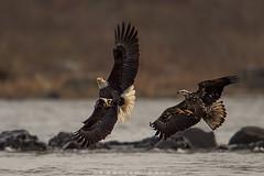 Thou shalt not steal (Khurram Khan...) Tags: nature ilovenature nikon baldeagle eagles raptors naturephotos wildlifephotography nikonnature ilovewildlife khurramk khurramkhan