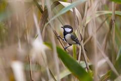Japanese tit (Propangas) Tags: life bird japan jp