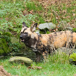 African wild dog 20151229-0233 thumbnail
