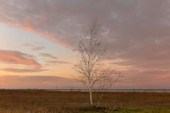Birch Tree at Sunrise (Myanoli) Tags: tree nature sunrise natur birch sonnenaufgang baum birke zwenkauersee lakezwenkau