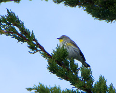 Yellow-rumped Warbler (Tom Clifton) Tags: pointlobos warbler yellowrumpedwarbler wrwa sealionpointparking