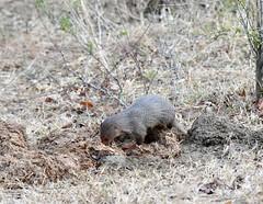 DSC_1425 (H Sinica) Tags: udawalawenationalpark  mongoose srilanka  ceylon  safari