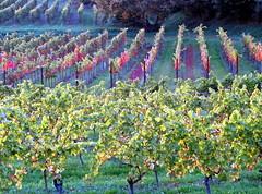 lngs und quer (barmicity) Tags: weinberg vineyard pfalz palatinate reben trauben natur outdoor