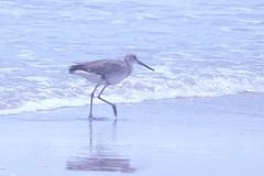 Willet (BirdWatcher6723) Tags: 2012 beaches birds gulfs nature padreisland texas unitedstates water wildlife willets tringasemipalmata