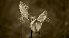 Pods (Bob's Digital Eye) Tags: bobsdigitaleye bokeh canon canonefs55250mmf456isstm closeup depthoffield flicker flickr milkweedsepiatone monotone nature plant seedcases seedheads t3i