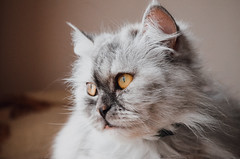 My kitty Knopa ;3 (Dmitrijs Bondarenko) Tags: cat cats kitty animal animals nikon d5100 kit 1855 riga latvia latvija
