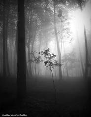 Sunrise light (Guillermo Carballa) Tags: forest woods trees pines oaks light sunrise fog mist bw lx5 carballa