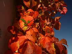 Otoo Tardor Autumn (4) (calafellvalo) Tags: calafellautumntardorotoomandoscalafellvalo otoo autumn fall automne herbst ocher reddle ocre ocker viedos vineyard weinberg vignoble rouge red calafellvalo madroo tardor